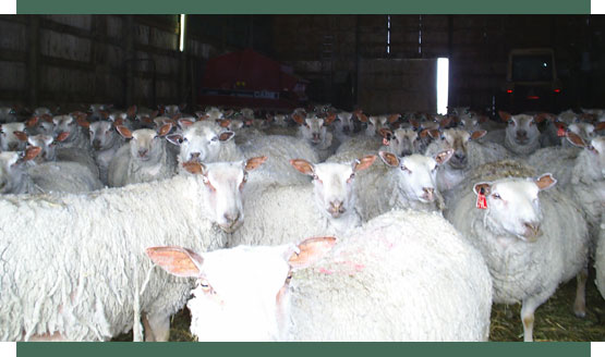 Fieldstone purebred Charollais sheep are ideal for breeding and butchering.