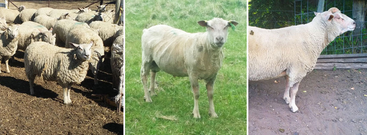 Fieldstone Ovine Charollais sheep can make your existing herd calmer and easier to handle