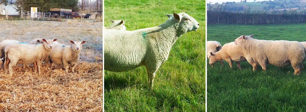Fieldstone Ovine's purebred Charollais sheep are easier to raise and mean maximum profit at market.