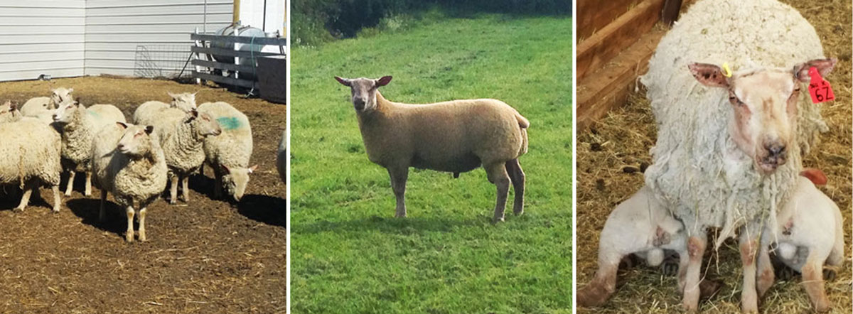 FieldStone Charollais sheep can yield up to 60% cutting percentage with long loin and well-muscled hindquarters.