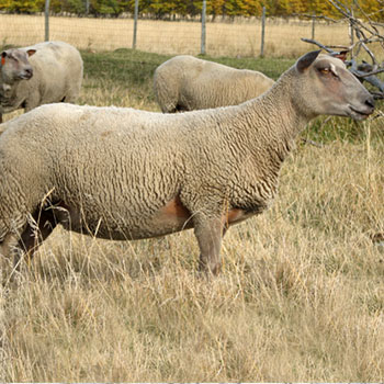 Buy Purebred Charollais rams from FieldStone Ovine