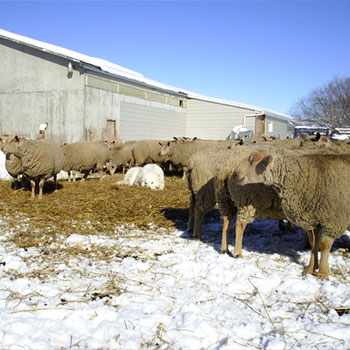 Registered purebred Charollais are for sale from FieldStone Ovine