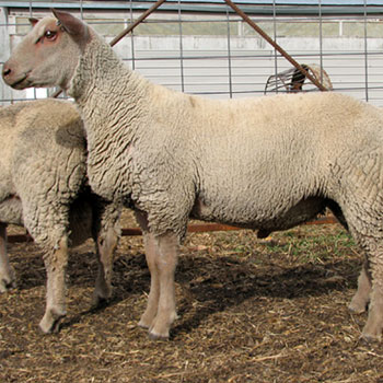 Buy purebred Charollais sheep breeding stock from FieldStone Ovine
