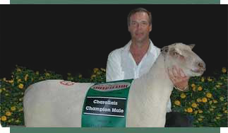 Champion Charollais sheep from FieldStone Ovine are real winners.