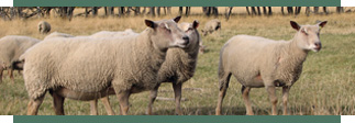 Fieldstone Ovine Charollais Sheep breeding stock for faster growth to butcher weight.