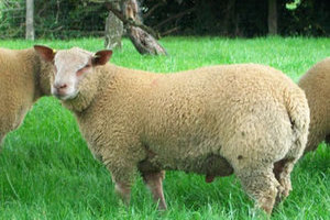 Buy Purebred Charollais sheep from FieldStone Ovine