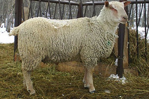 Sheep for sale from FieldStone Ovine in Millet are purebred Charollais