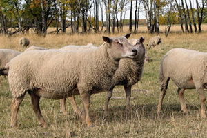 Purebred Charollais ewes and rams from FieldStone Ovine reduce your input costs.