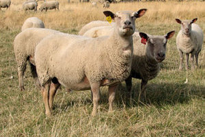 Sheep Buy purebred breeding stock using FieldStone Charollais rams and ewes for a heartier