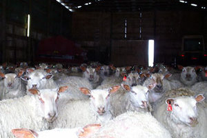 Purebred Charollais Sheep Breeders prefer FieldStone Ovine ewes and rams..